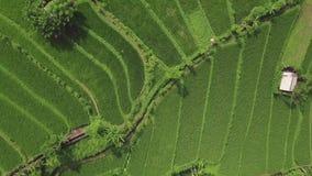 Terraza aérea del arroz del verde del paisaje Plantaci?n del arroz del verde de la opini?n del abej?n en campo del campo en puebl almacen de video