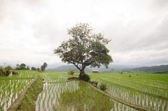 Terraza archivada arroz en la estación de la cosecha Imagen de archivo libre de regalías