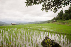 Terraza archivada arroz en la estación de la cosecha Fotos de archivo