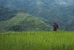 Terraza del arroz Fotografía de archivo libre de regalías