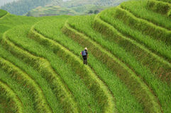 Terraza del arroz de la fertilización del hombre Imagenes de archivo