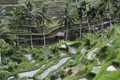 Terraza del arroz de Tegalalang Imagen de archivo libre de regalías