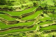 Terraza del arroz en Bali Fotografía de archivo libre de regalías