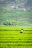 Terraza del paso de progresión del arroz en Vietnam Foto de archivo