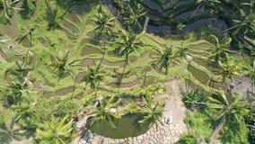 Terrazas antedichas Bali 4k aéreo del arroz metrajes