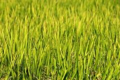 Terrazas del arroz, Chiang Mai, Tailandia Imágenes de archivo libres de regalías