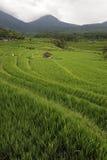 Terrazas del arroz de Bali - de Jati Luwih Foto de archivo