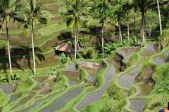 Terrazas del arroz de Bali, Indonesia Fotografía de archivo