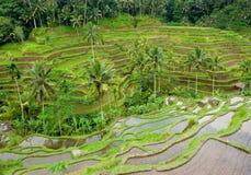 Terrazas del arroz de bali, Indonesia Fotos de archivo