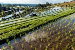 Terrazas del arroz de Jatiluwih Fotos de archivo libres de regalías
