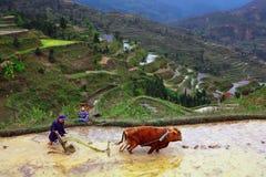 Terrazas del arroz. El granjero chino labra el suelo en el campo de arroz. Imagen de archivo libre de regalías