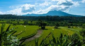 Terrazas del arroz en Bali con vistas al volcán Fotografía de archivo libre de regalías