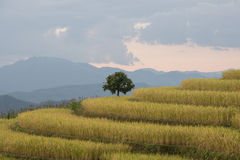 Terrazas del arroz en Tailandia septentrional fotografía de archivo libre de regalías