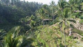 Terrazas 4k aéreo del arroz de las palmeras almacen de video