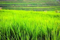 Terrazzi dei fileds del riso con riso verde fresco in Jatiluwih, Bali, I Fotografie Stock Libere da Diritti