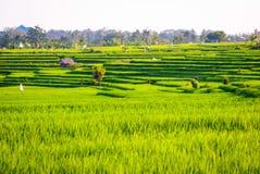 Terrazzi dei fileds del riso con riso verde fresco in Jatiluwih, Bali, I Immagine Stock Libera da Diritti