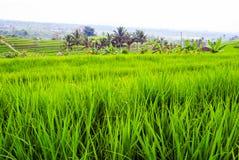 Terrazzi dei fileds del riso con riso verde fresco in Jatiluwih, Bali, I Fotografia Stock