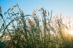 Terrazzi del fiore dell'erba sugli altopiani con il tramonto Immagini Stock Libere da Diritti