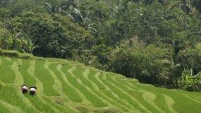 Terrazzi del giacimento del riso Immagini Stock Libere da Diritti