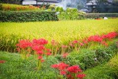 Terrazzi del riso allineati con i gigli del ragno rosso immagine stock libera da diritti
