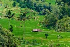 Terrazzi del riso in Bali Fotografia Stock Libera da Diritti