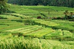 Terrazzi del riso, Bali immagini stock libere da diritti