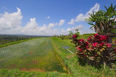 Terrazzi del riso in bali Fotografie Stock