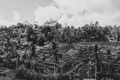 Terrazzi del riso in Bali - agricoltura verticale - in bianco e nero fotografia stock