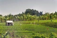 Terrazzi del riso a Bali Indonesia Fotografie Stock Libere da Diritti