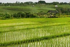 Terrazzi del riso a Bali Indonesia Immagine Stock Libera da Diritti