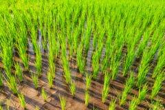 Terrazzi del riso del raccolto Fotografia Stock