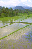 Terrazzi del riso dell'Asia fotografia stock libera da diritti