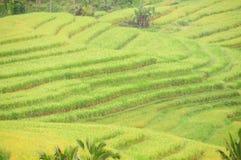 Terrazzi del riso dell'isola di Bali, Indonesia Fotografia Stock