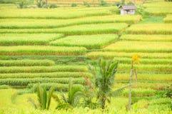 Terrazzi del riso dell'isola di Bali, Indonesia Fotografia Stock Libera da Diritti