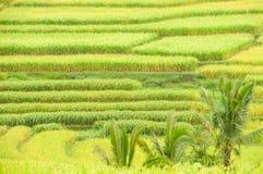 Terrazzi del riso dell'isola di Bali, Indonesia, dettaglio Fotografia Stock Libera da Diritti