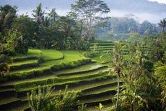 Terrazzi del riso di Bali. Immagine Stock