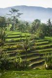 Terrazzi del riso di Bali. Fotografia Stock Libera da Diritti