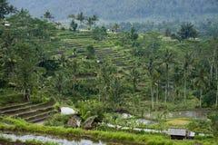 Terrazzi del riso di Bali. Fotografia Stock