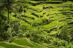 Terrazzi del riso di Bali Fotografie Stock Libere da Diritti