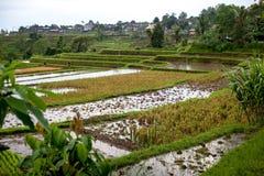 Terrazzi del riso di Bali in acqua Risaie di Jatiluwih Le linee del grafico ed i campi verdi verdeggianti Alcuni dei campi Fotografie Stock Libere da Diritti