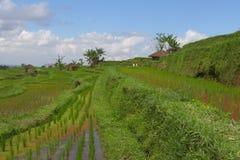 Terrazzi del riso di Bali con le capanne dell'agricoltore Immagine Stock
