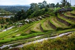 Terrazzi del riso di Bali Risaie di Jatiluwih Le linee del grafico ed i campi verdi verdeggianti Alcuni dei campi sono Fotografia Stock