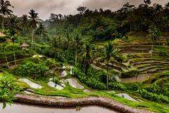 Terrazzi del riso di balinese Immagine Stock