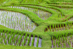 Terrazzi del riso di Jatiluwih, Bali, Indonesia Fotografia Stock
