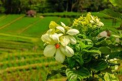 Terrazzi del riso di Jatiluwih, Bali, Indonesia Fotografie Stock Libere da Diritti
