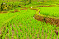 Terrazzi del riso di Jatiluwih, Bali, Indonesia Immagine Stock Libera da Diritti