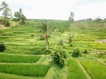 Terrazzi del riso di Jatiluwih nelle montagne dell'isola di Bali in Indonesia fotografia stock libera da diritti