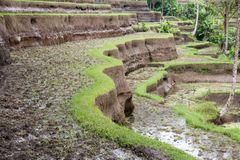 Terrazzi del riso di Tegallalang in Bali fotografia stock libera da diritti