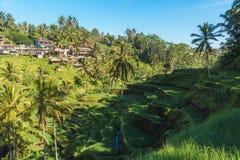 Terrazzi del riso di Tegallalang di Bali, Indonesia Fotografia Stock