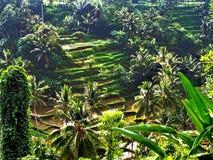 Terrazzi del riso di Tegallalang in Ubud Immagini Stock